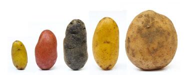 Pomme de terre dossier de liens b peiffer forumphyto - Tableau pomme de terre varietes ...