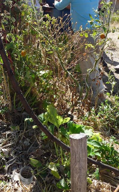 Tomate et mildiou au mas de Beaulieu