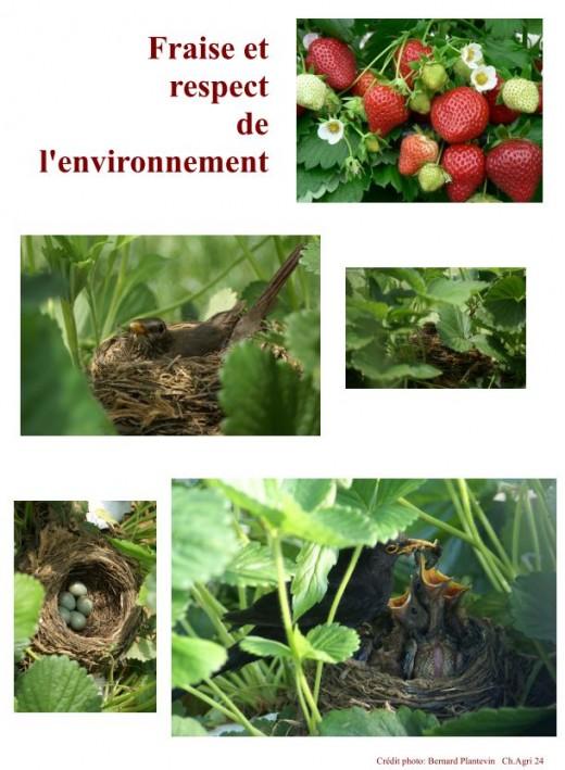 nids merle fraise