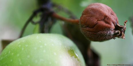 Une pomme infectée par le feu bactériejn (Photo: S. Stabinger / Wikimedia Commons)
