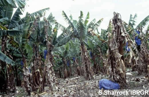 1512Fusariose_Panama_disease-banane