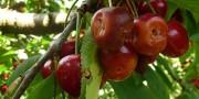 Dégâts de Drosophila suzukii sur cerises (source : l'Arboriculture Fruitière)